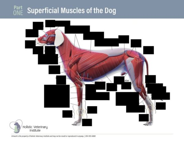 Superficial Muscles of the Dog Part One worksheet