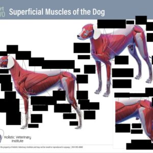 Superficial Muscles of the Dog Part Two worksheet